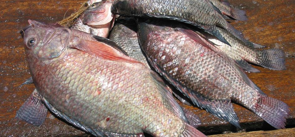 Tilapia fish farming for Fishing for tilapia