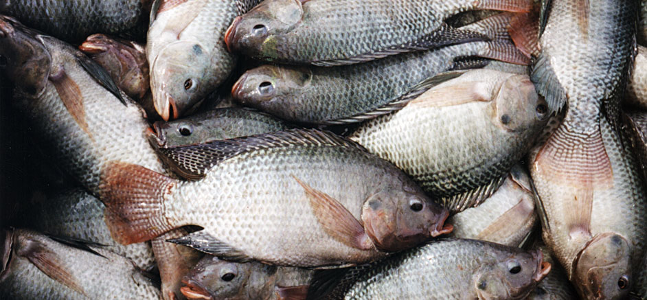 Development of a commercial tilapia farming operation in for What is fish farming