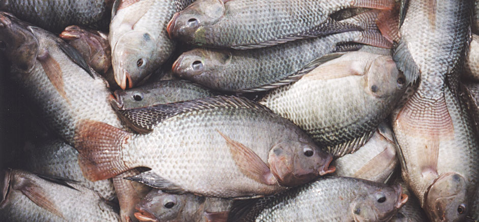 Tilapia farming aquasol inc for What is tilapia fish